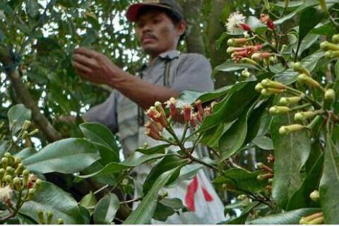 Gegara Pohon Cengkih, Oknum Polisi di Damer Dipolisikan