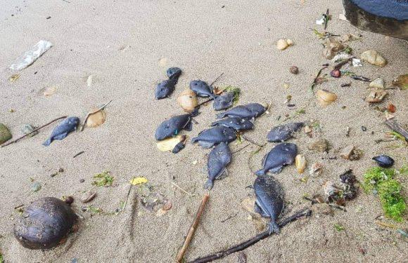 Dugaan Sementara, Ikan Mati di Pantai Leitisel Akibat Ledakan